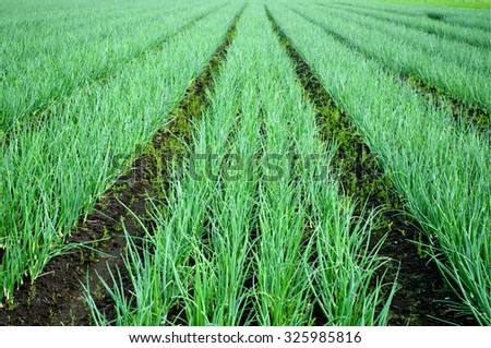 Rows of Onions on the field. Agricultural landscape. Onions plantations. Cultivated field green onion rows. - stock photo