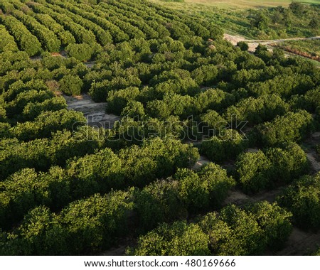 Rows of Orange Groves/Florida Agriculture/Aerial view of citrus trees in the morning
