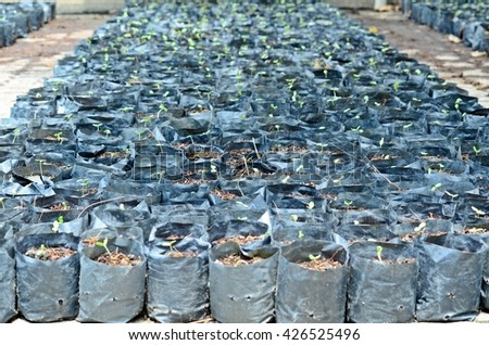 rows of plant growing in black plastic bag, black potting soil, preparing for cultivation, agriculture business, plant growing, farming, crop, potting - stock photo