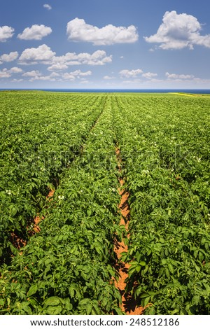 Rows of potato plants growing in large farm field at Prince Edward Island, Canada - stock photo