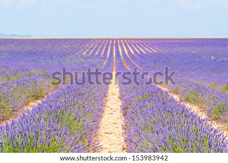 Rows of purple lavender beds stretching to the horizon - stock photo