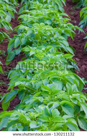 Rows of recently sprouted potatoes growing in a field - stock photo