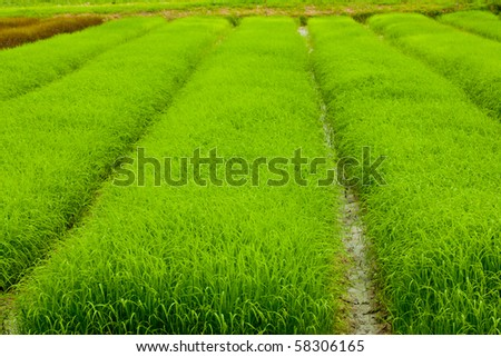 Rows of Rice Field - stock photo