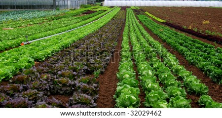 Rows of salad and a green house