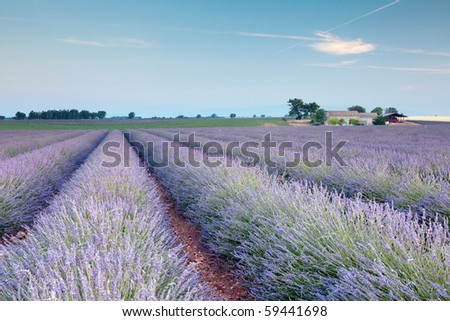 Rows of scented flowers in the lavender fields of the French Provence near Valensole - stock photo