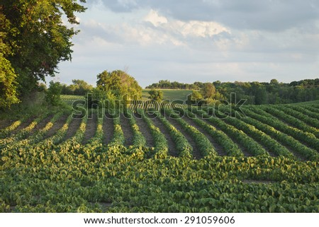 Rows of soybeans in a Minnesota field with trees and clouds in late afternoon light - stock photo