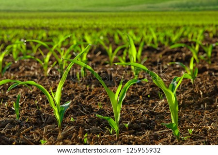 Rows of sunlit young corn plants on a moist field - stock photo