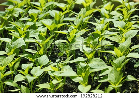 Rows of sweet pepper young seedlings before planting in soil in bright sunlight - stock photo
