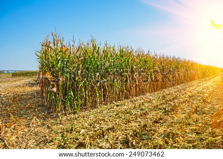 rows of tall corn on field on sunrise at harvest  - stock photo