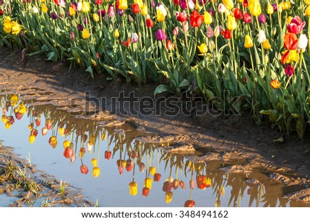 Rows of tulip flowers at a family farm with the flowers reflecting in standing water on the ground.