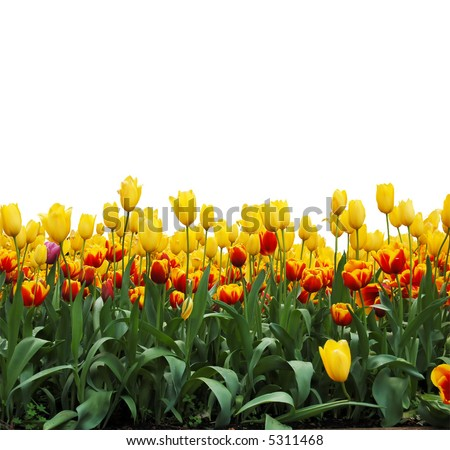 rows of tulips  isolated on white background - stock photo