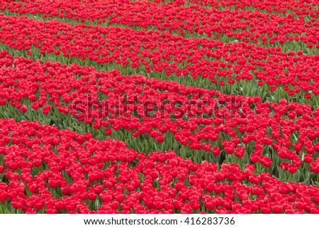 rows of vibrant red tulips in flower field in holland - stock photo