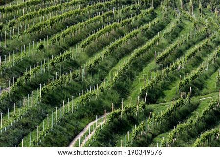 Rows of vines in the hills of Prosecco in Valdobbiadene, Italy - stock photo