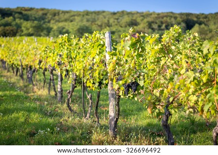Rows of vines in warm light - stock photo