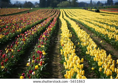 Rows of Yellow and Multi-colored Tulips Blooming in a Field