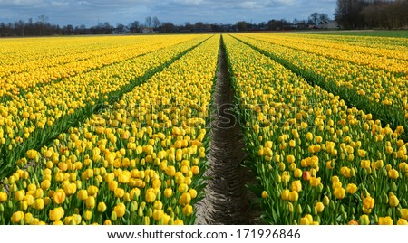 Rows of yellow tulips in Dutch countryside