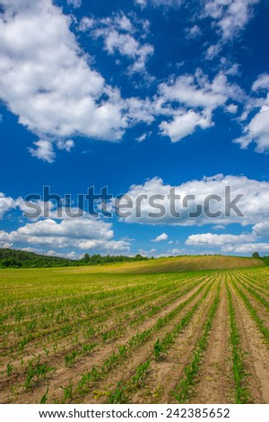 Rows of young corn plants growing in the field under a bright blue sky - stock photo