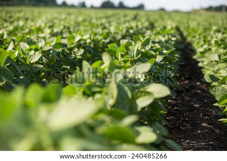 Rows of young soybean plants in a field - stock photo