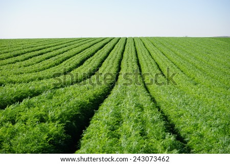 Rows on the carrot field - stock photo