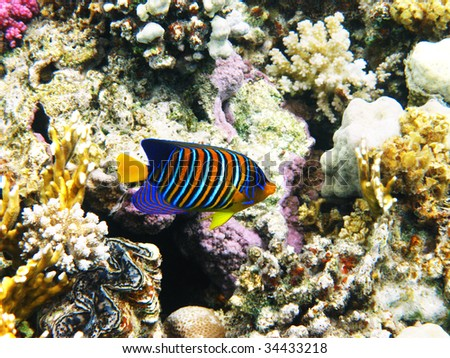 Royal angelfish and coral reef - stock photo