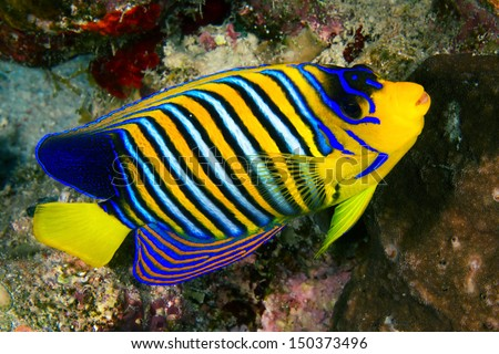 Royal angelfish (Pygoplites diacanthus) in the Red Sea, Egypt. - stock photo