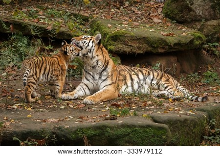 Royal bengal tiger/tiger/India - stock photo