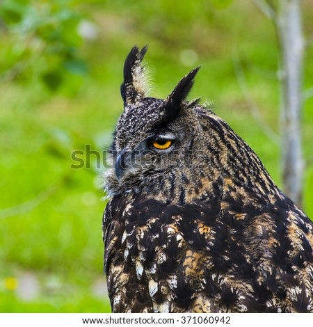 royal owl, Cabarceno Natural parck