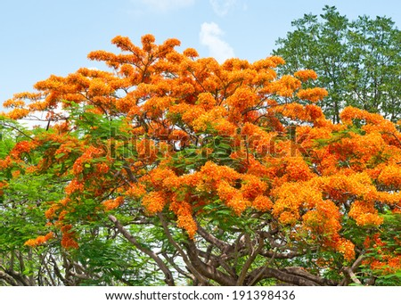 Royal Poinciana, Flamboyant, Flame Tree, - stock photo