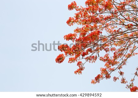 Royal Poinciana tree on blue sky background ( peacock flower ) , Flower summer of Thailand