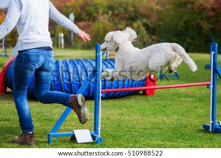 royal poodle jumps over a hurdle of an agility course