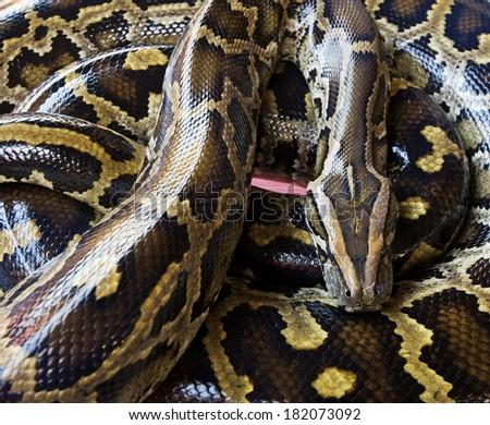 Royal python  - stock photo