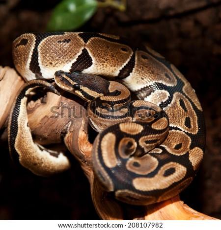 Royal python in terrarium - stock photo