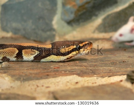 royal python in the terrarium - stock photo