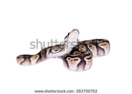 Royal Python, or Ball Python on white - stock photo