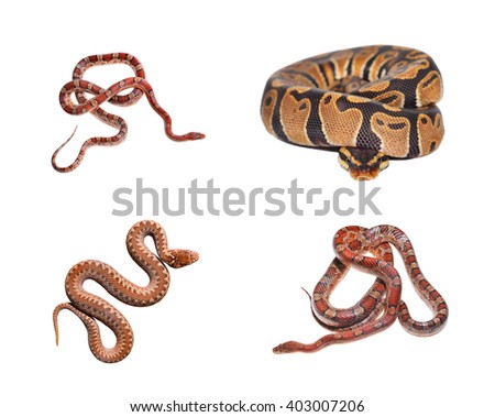 Royal python Python regius, red exotic grass snake and Common viper snake isolated over white - stock photo