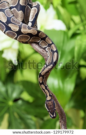 Royal Python snake creeping on a wooden branch - stock photo