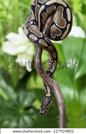 Royal Python snake creeping on a wooden branch outdoor