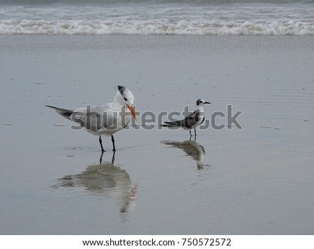 Royal tern sea birds mother and baby on the beach.