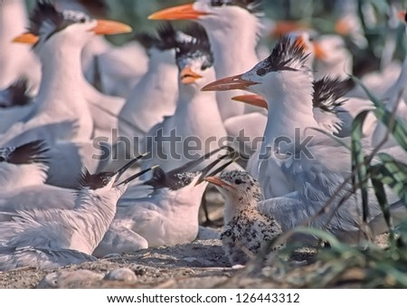 Royal tern with chick,sandwich terns nesting - stock photo