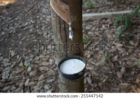 Rubber, latex, rubber tapping, rubber plantations in Thailand. - stock photo