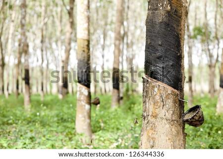 Rubber Plantation - stock photo
