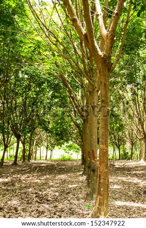Rubber plantation in the southern, Thailand - stock photo