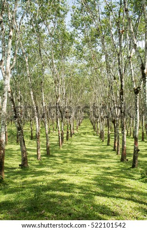 Rubber plantation lifes, Rubber plantation Background, Rubber trees in Thailand.(green background)