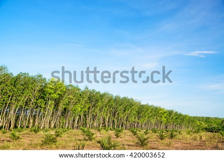 Rubber plantations against  blue sky on mountain, south of Thailand.