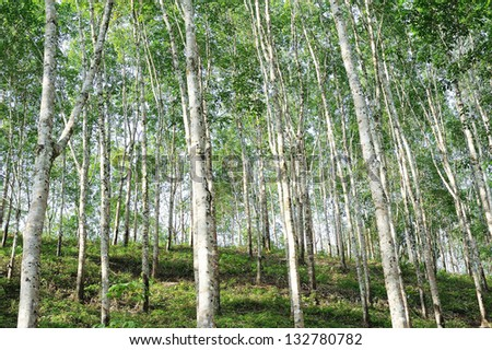 rubber - rubber tree plantation