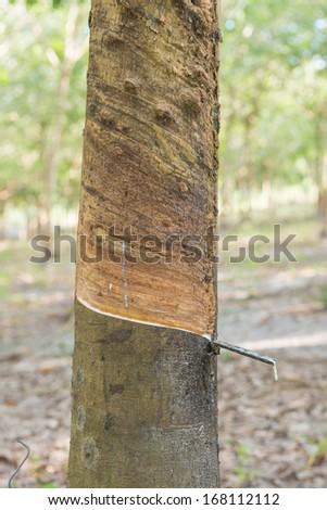 Rubber tree in the northeast of Thailand