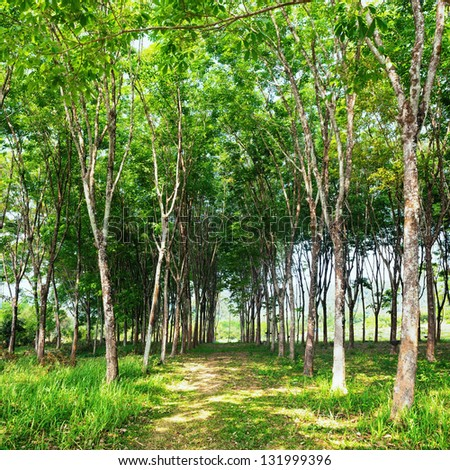 Rubber tree natural latex extraction. Hevea plants in Thailand. - stock photo