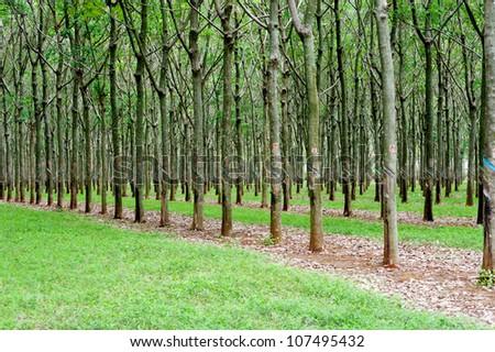 rubber tree plantation in Vietnam - stock photo