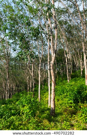 Rubber tree plantation, used to produce natural raw latex, which is gathered in small pots.