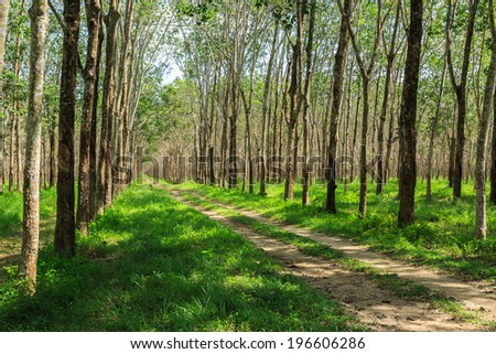 Rubber Tree Plantation With Rows Of Cultivated Trees In Phuket, Thailand